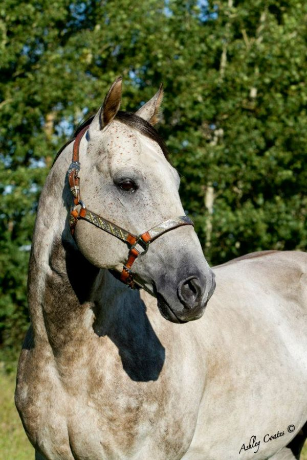 Grey Appendix Stallion for Sale in Alberta