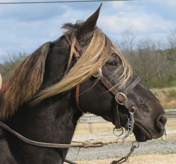 Chocolate Rocky Mountain Horse for Sale in Alabama