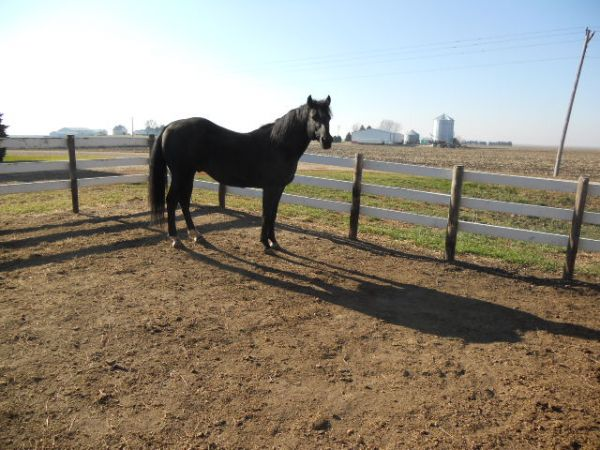 Black Quarter Horse Stallion for Sale in Iowa