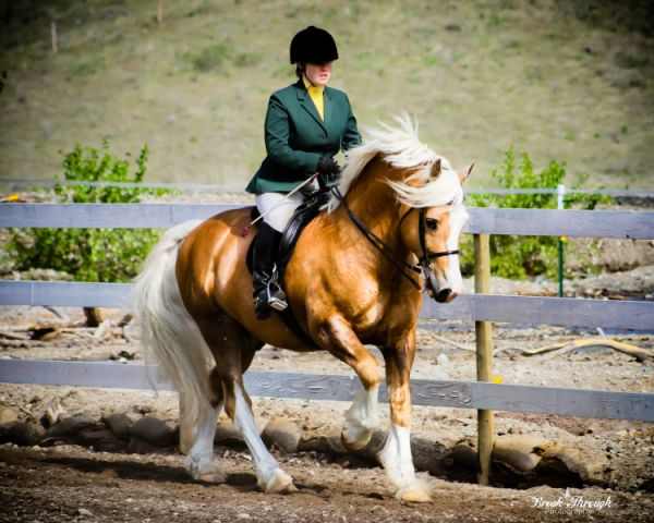 Palomino Welsh Cob Stallion