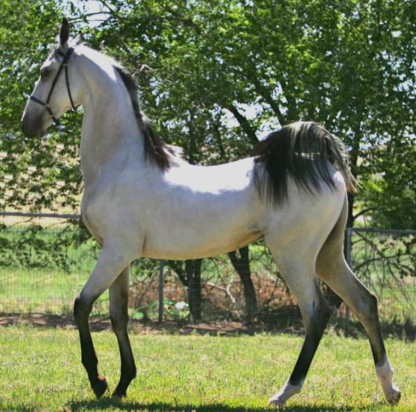 Grulla Saddlebred Stallion
