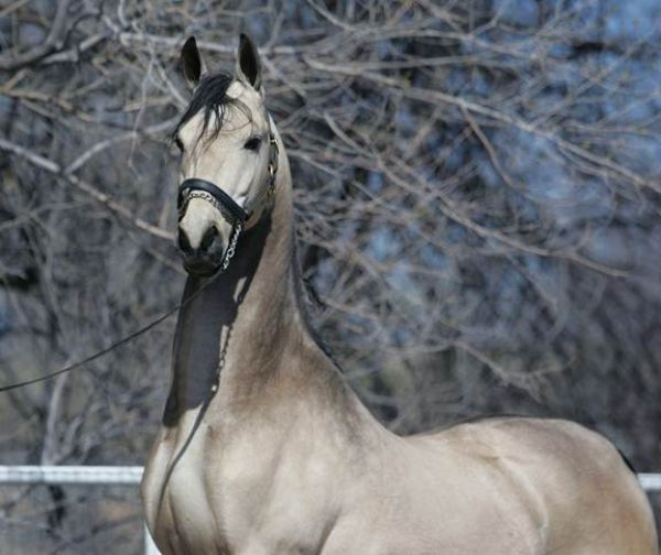 Grulla Saddlebred Horse for Sale in California