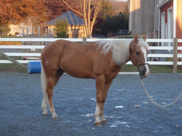 Palomino Quarter Horse Stallion for Sale in Pennsylvania