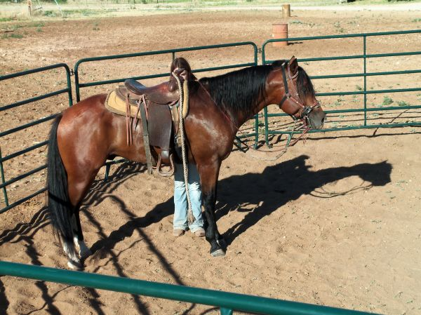 Bay Quarter Horse Stallion for Sale in Texas