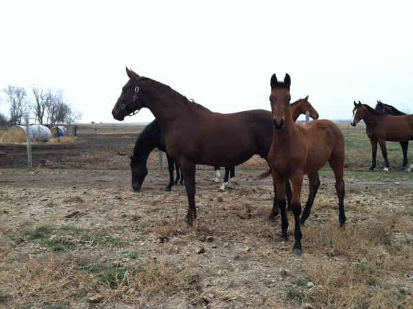 Liver Chestnut Oldenburg Horse for Sale in South Dakota