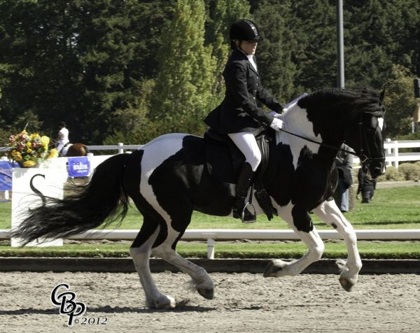 Tobiano Friesian Stallion