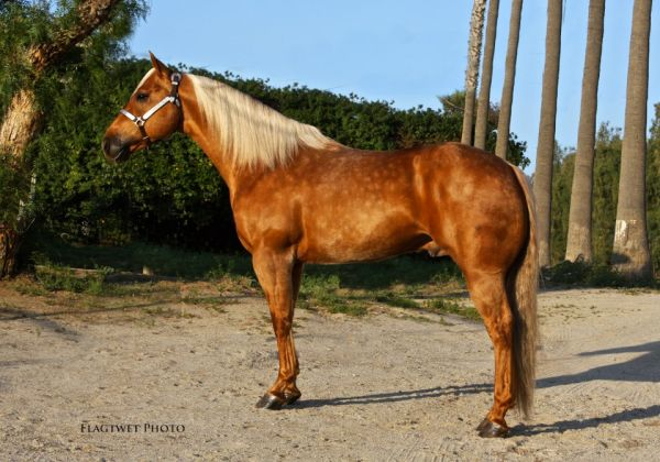 Palomino Quarter Horse Stallion for Sale in California