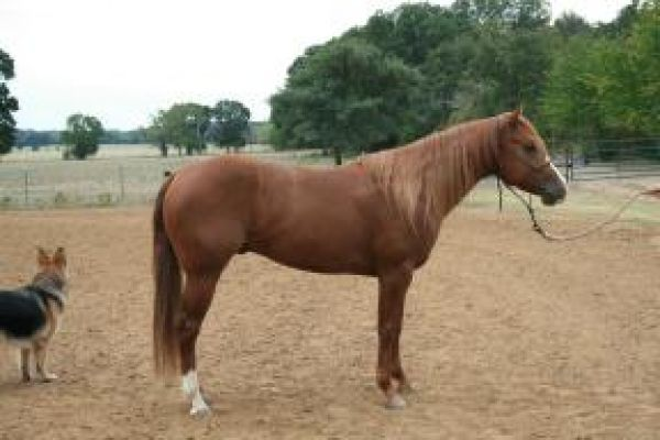 Sorrel Quarter Horse Stallion for Sale in Texas