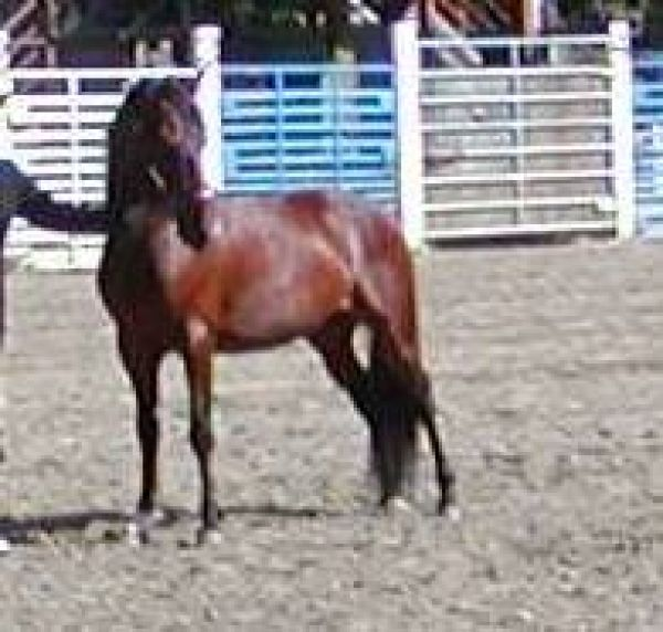 Bay Morgan Stallion for Sale in Idaho