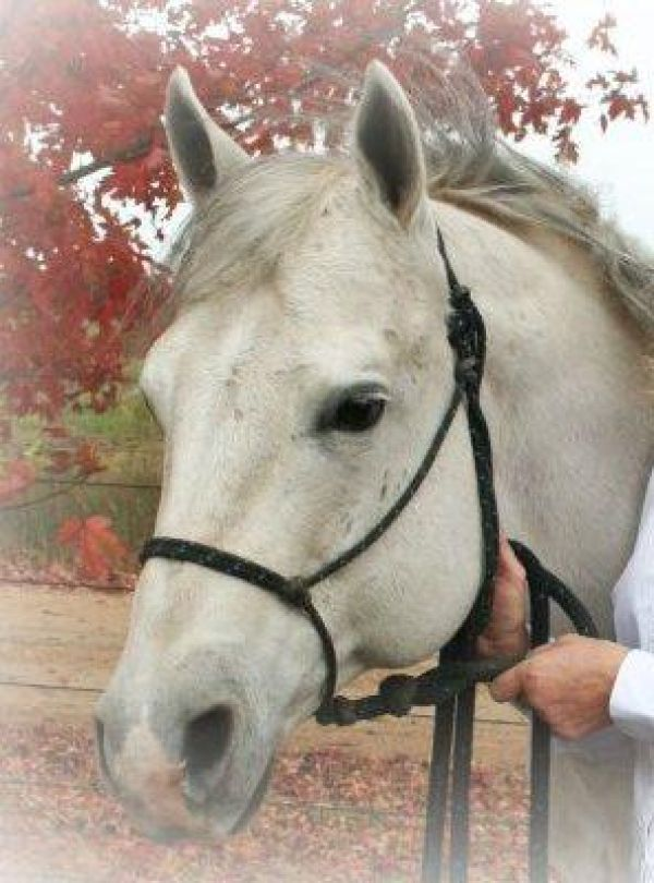 Grey Quarter Horse Stallion for Sale in Missouri