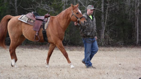 Red Dun Quarter Horse Stallion for Sale in South Carolina
