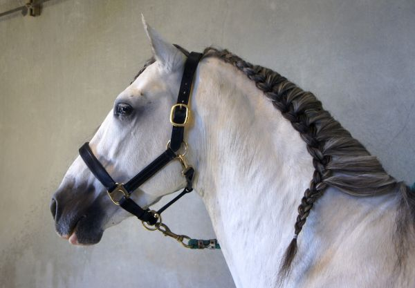 Grey Andalusian Stallion for Sale in Arizona