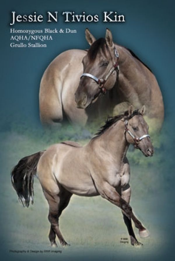 Grulla Quarter Horse Stallion for Sale in Colorado
