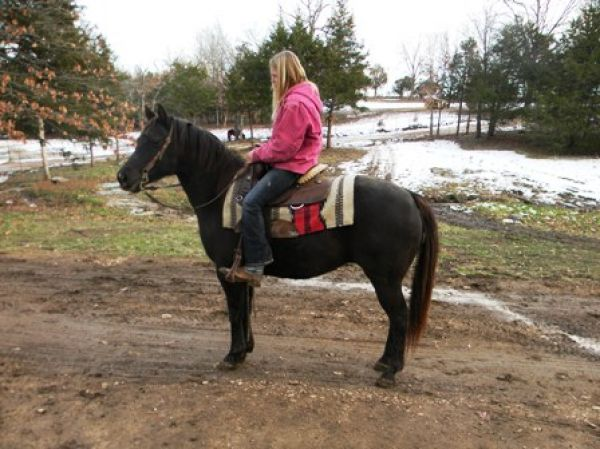 Chocolate Quarter Horse for Sale in Missouri