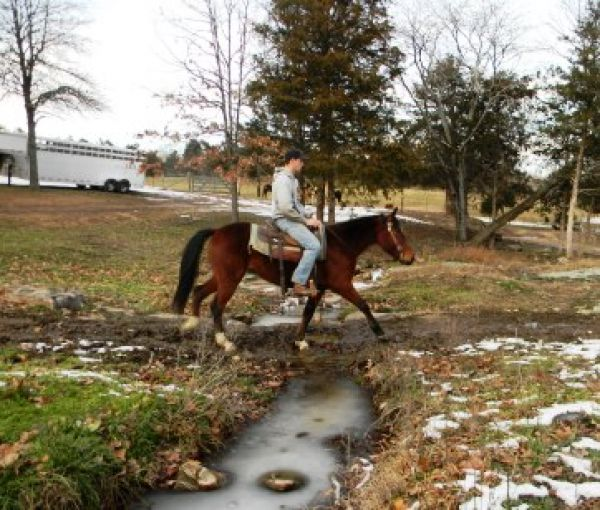 Bay Missouri Fox Trotter Horse for Sale in
