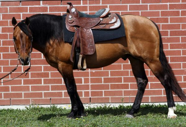 Dun Quarter Horse Stallion for Sale in Ontario