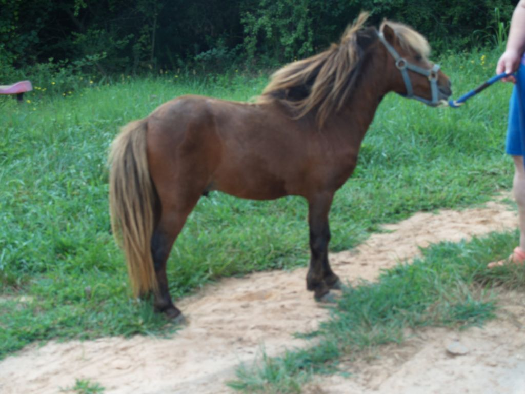 Other Miniature Stallion