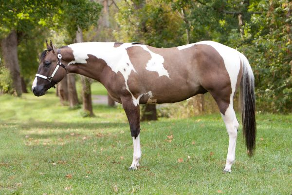 Grulla Paint Stallion for Sale in Nova Scotia