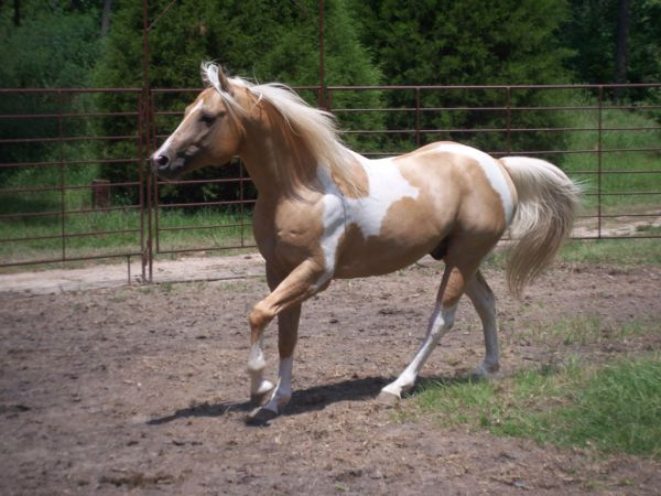 Palomino Paint Stallion for Sale in Arkansas