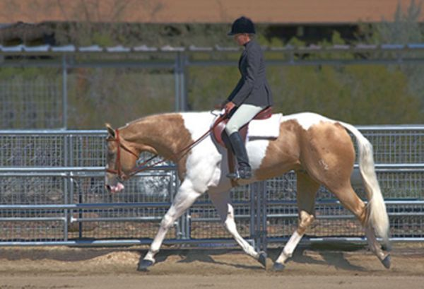 Tobiano Paint Stallion for Sale in California