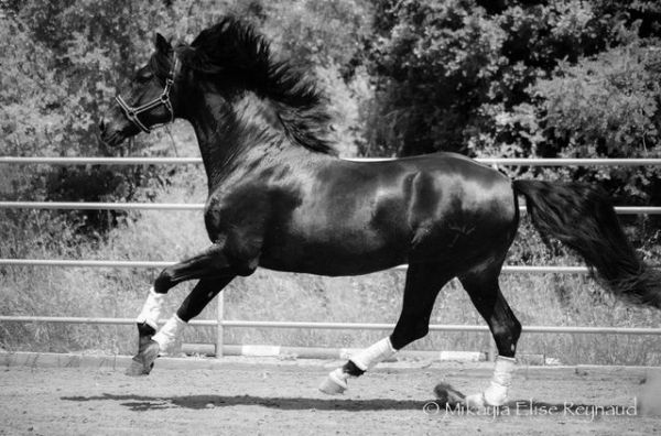 Black Andalusian Stallion