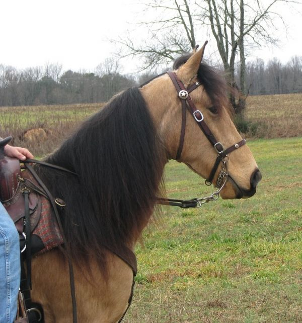 Buckskin Racking Horse for Sale in Alabama