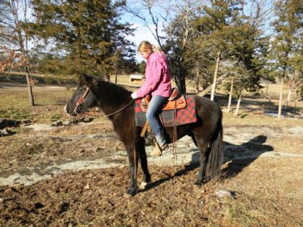 Black Missouri Fox Trotter Gelding