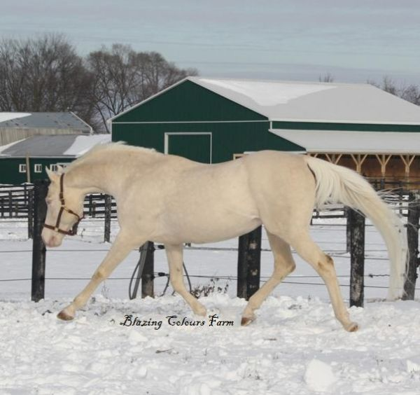 Cremello Warmblood Stallion for Sale in Ontario