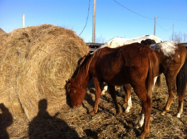 Sorrel Quarter Horse Stallion for Sale in Alberta
