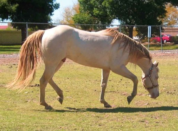 Perlino Quarter Horse Stallion for Sale in Arizona