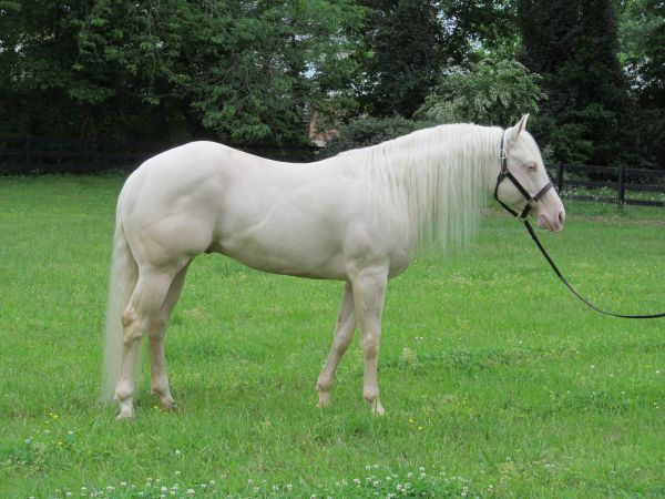 Cremello Quarter Horse Stallion for Sale in Tennessee
