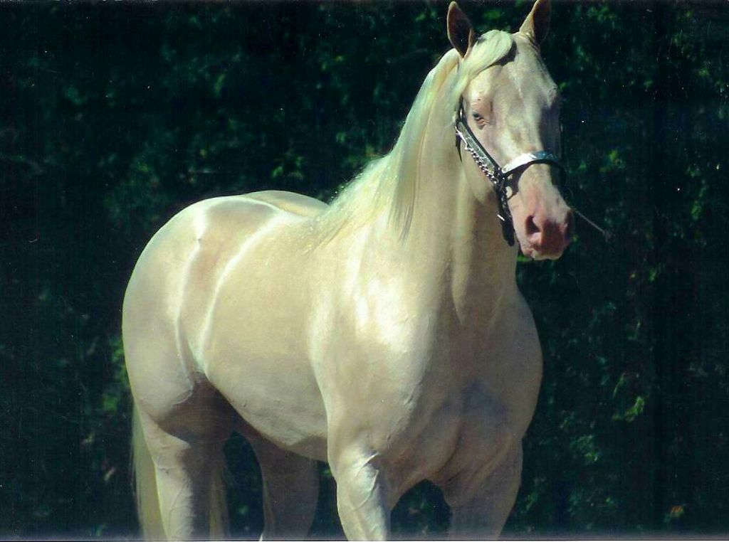 Cremello Quarter Horse Stallion