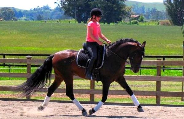 Bay Andalusian Stallion for Sale in California