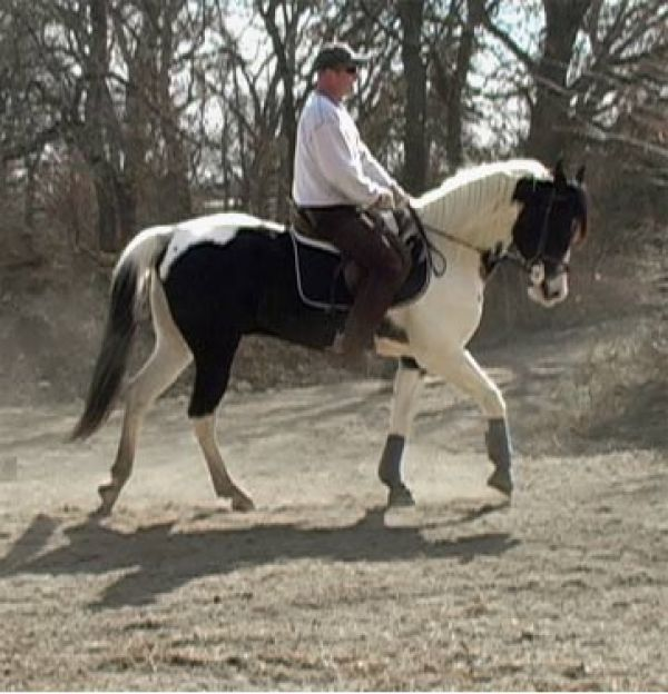 Grey Arabian Horse for Sale in Texas