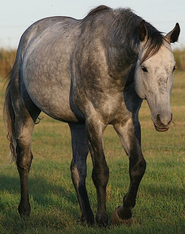 Grey Quarter Horse Stallion