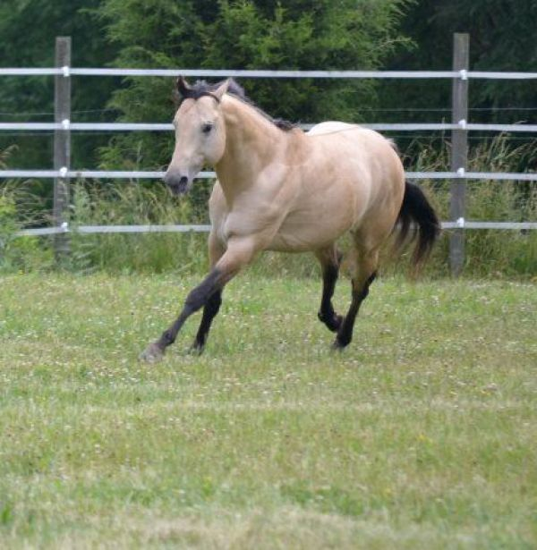 Dunskin Quarter Horse Stallion for Sale in Tennessee
