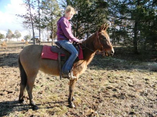 Dun Mule Horse for Sale in Missouri
