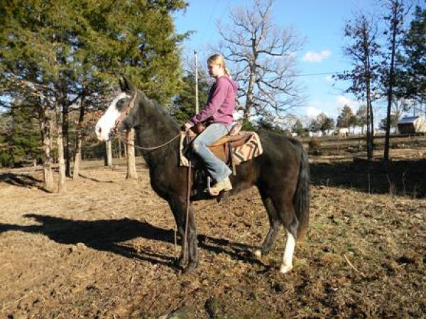 Black Tennessee Walking Gelding