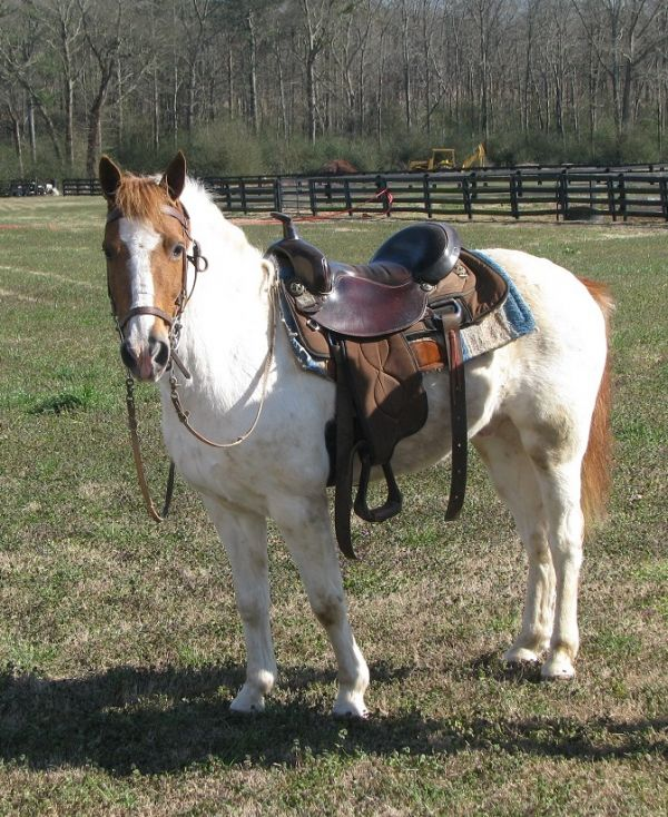 Sorrel Racking Horse for Sale in Alabama
