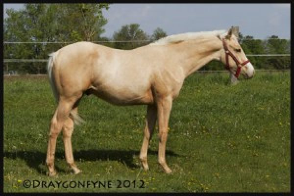 Palomino Warmblood Horse for Sale in Ontario