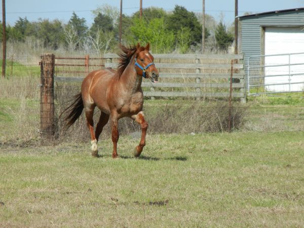 Red Roan Quarter Horse Stallion for Sale in Texas