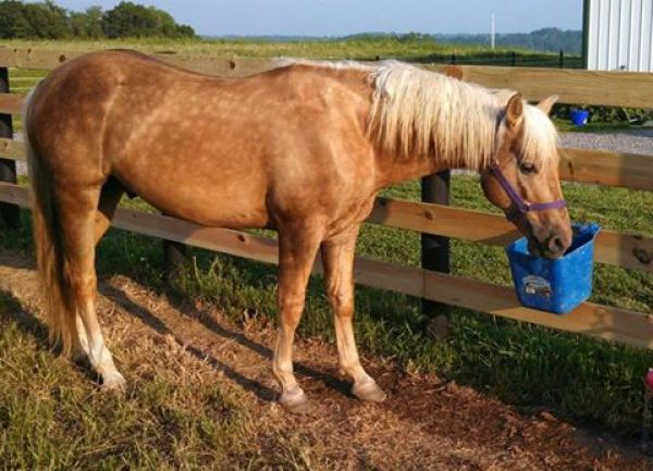 Palomino Quarter Horse Stallion for Sale in Ohio