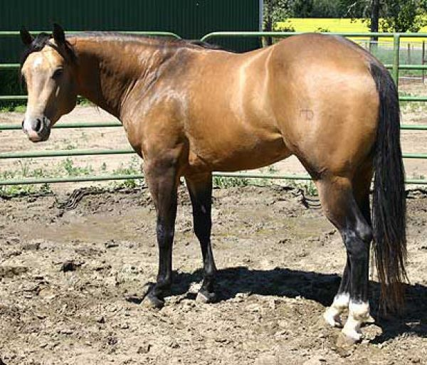 Buckskin Quarter Horse Stallion for Sale in Oklahoma