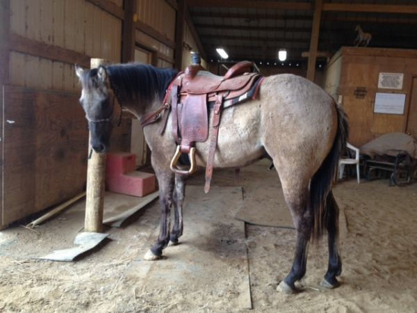 Grulla Quarter Horse for Sale in Missouri