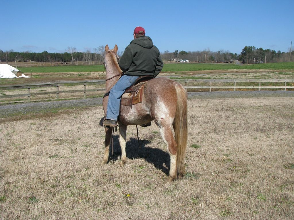 Red Roan Tennessee Walking Gelding