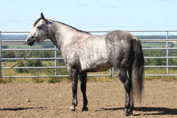 Grey Quarter Horse Stallion for Sale in Alberta