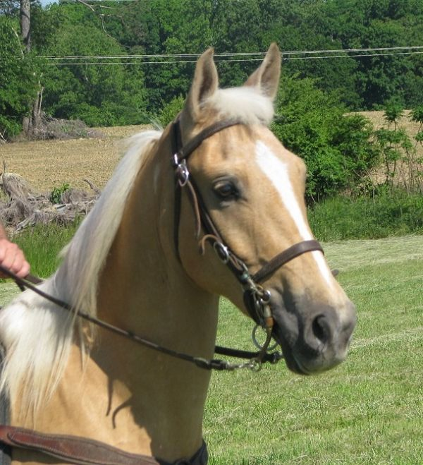 Palomino Tennessee Walking Horse for Sale in Alabama