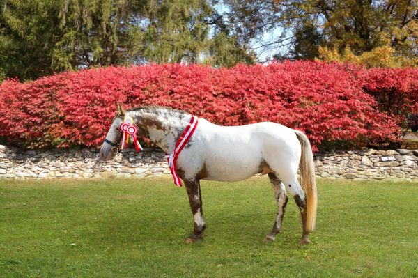 White Knabstrupper Stallion for Sale in Virginia