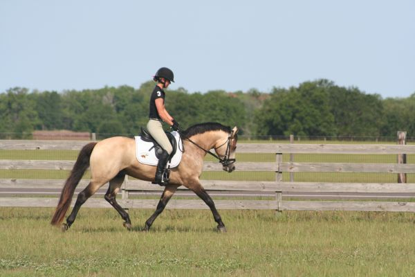 Dun w/ Blk Points Connemara Pony Stallion for Sale in Florida