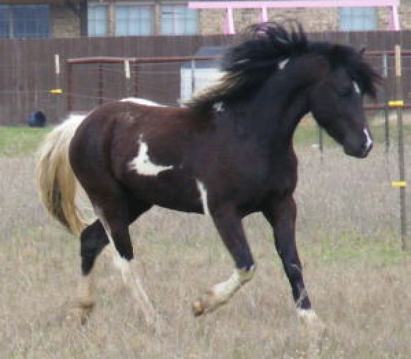 Tobiano Welsh Pony Stallion